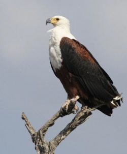 Eagle ?